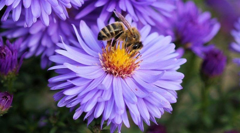 bee 191629 1280 800x445 - Die Gründe für das Aussterben der Insekten